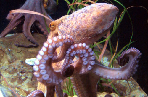 Octopus gifts